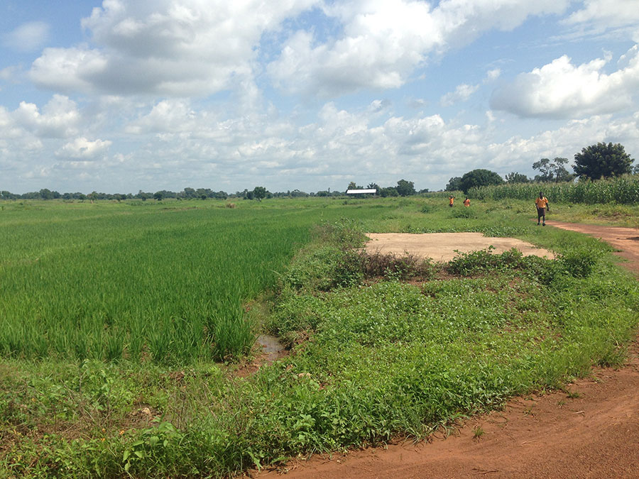 Rice Fields - AgriCorps