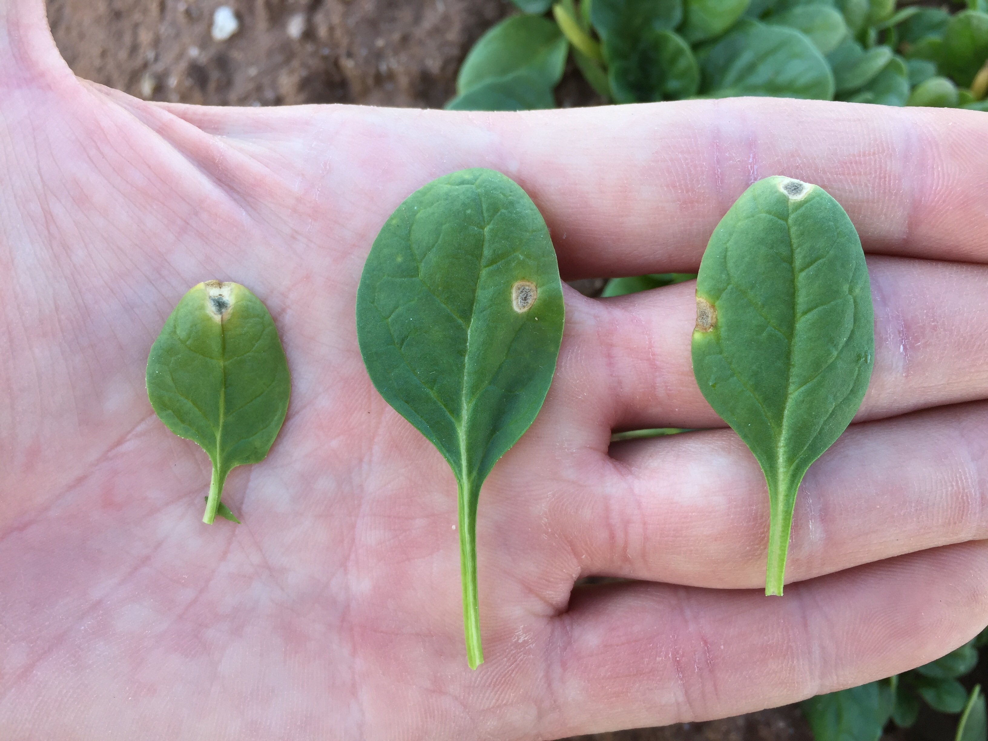 Leaf comparison photo
